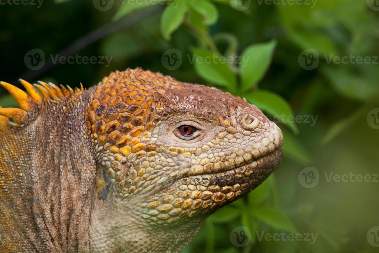 cabeça de terra iguana, Ilhas Galápagos, Equador foto