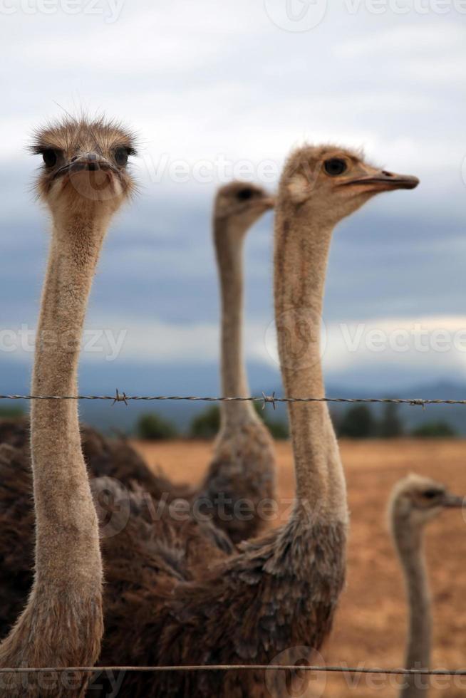avestruz em um grupo foto
