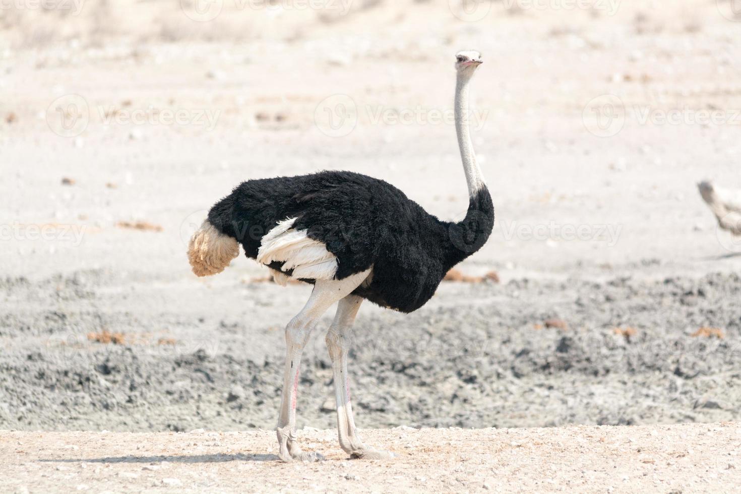retrato de avestruz foto