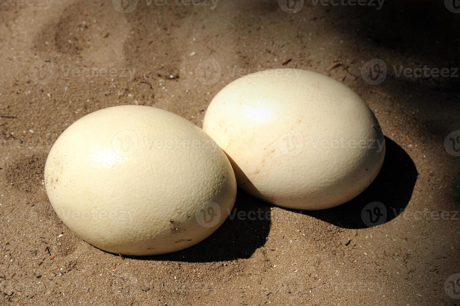 Ovo de avestruz foto