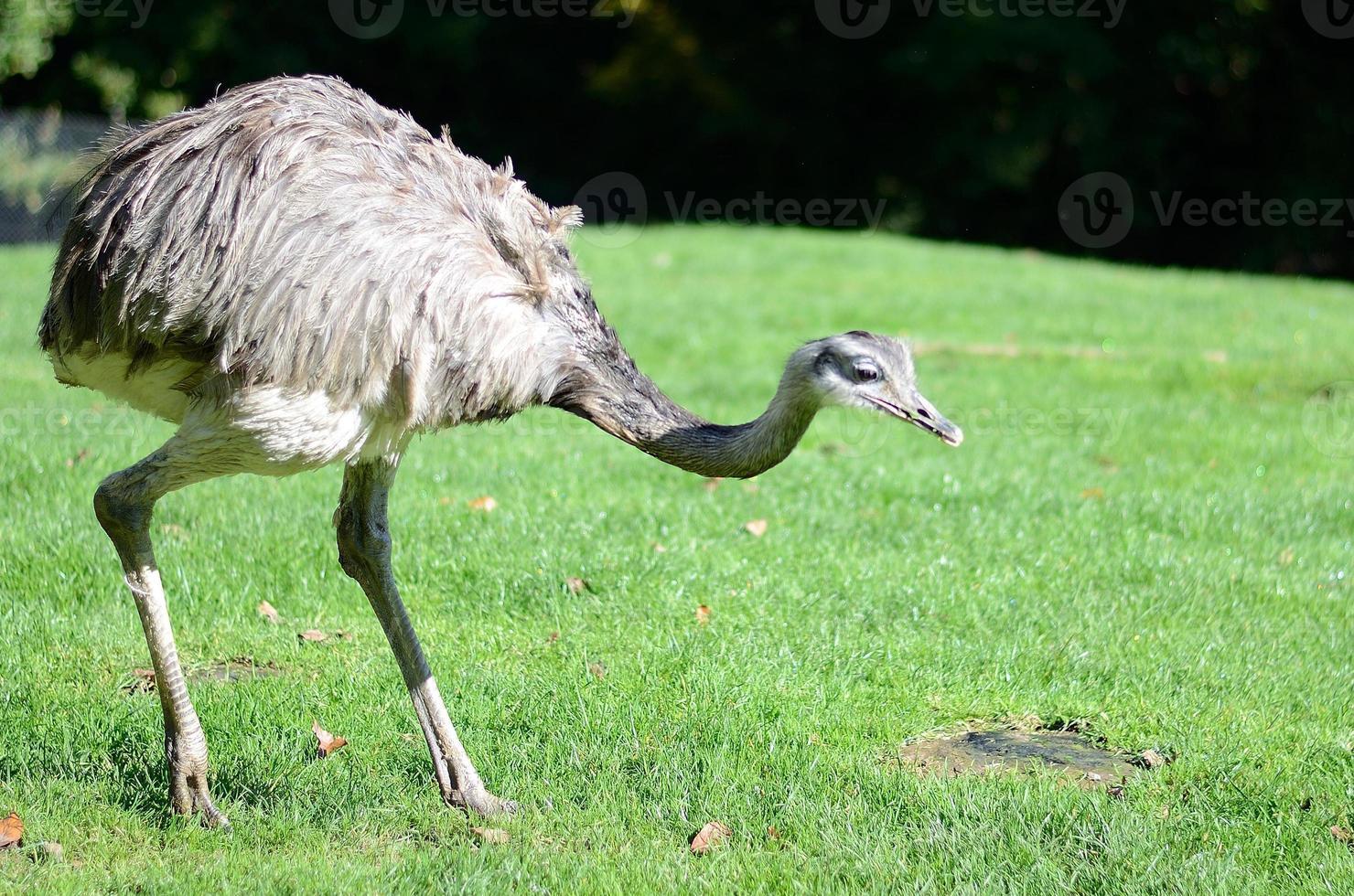 avestruz, strauß foto