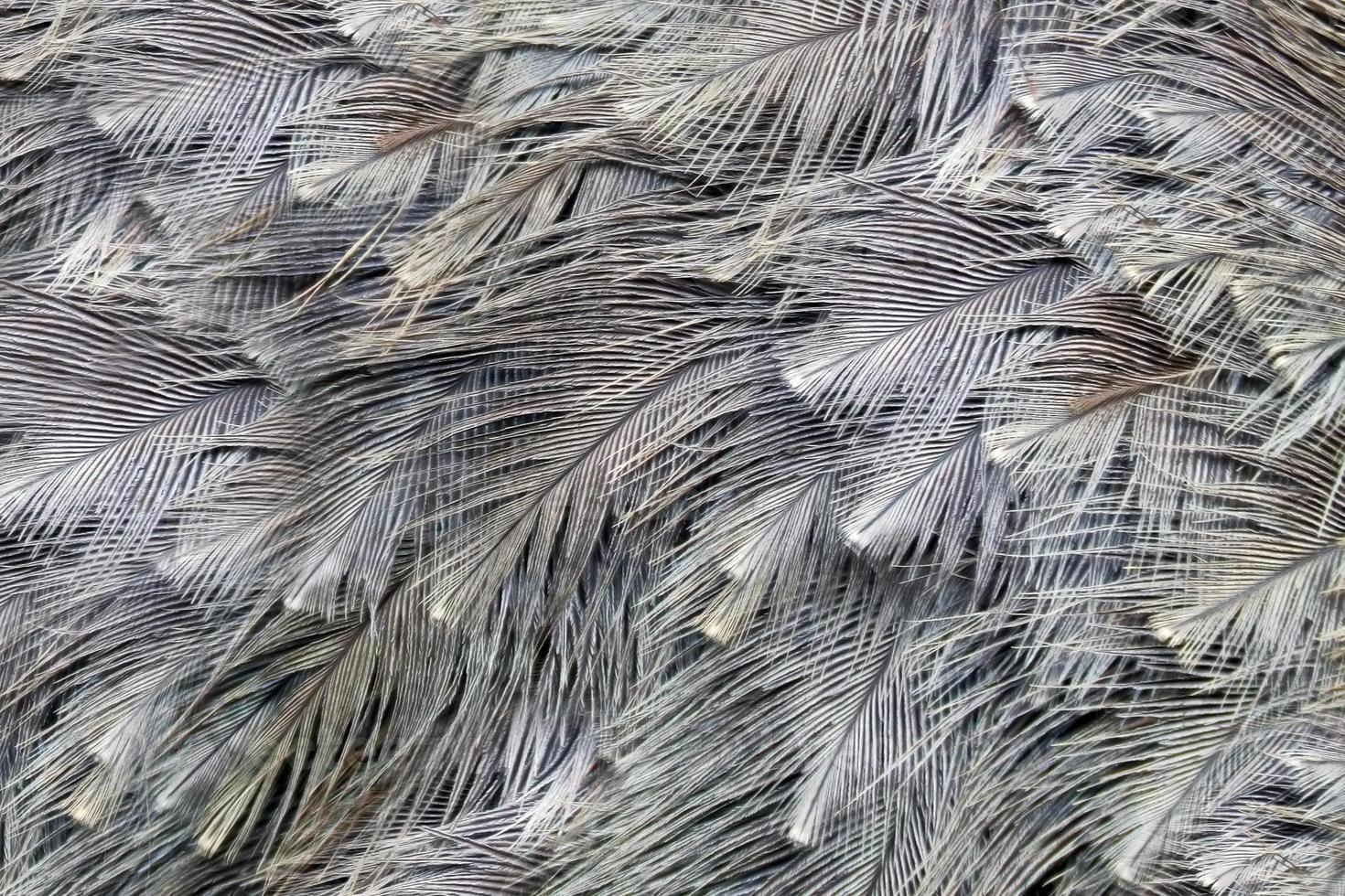 fundo de penas de avestruz (k) foto