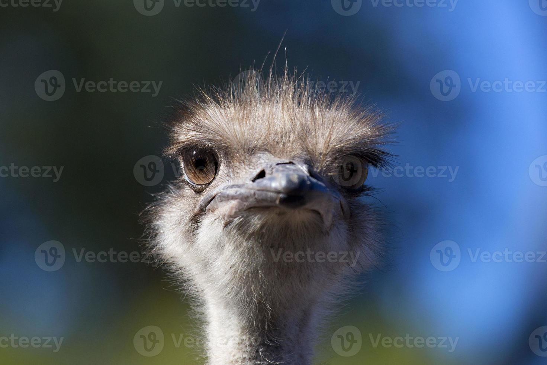 avestruz (struthio camelus) foto