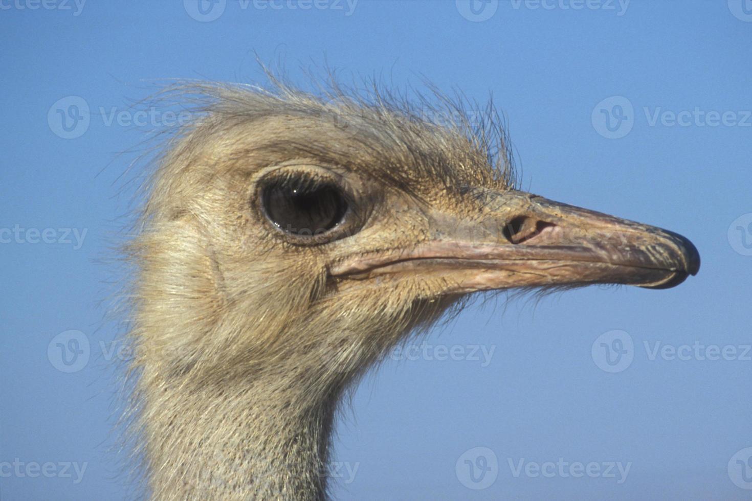 avestruz, struthio camelus foto
