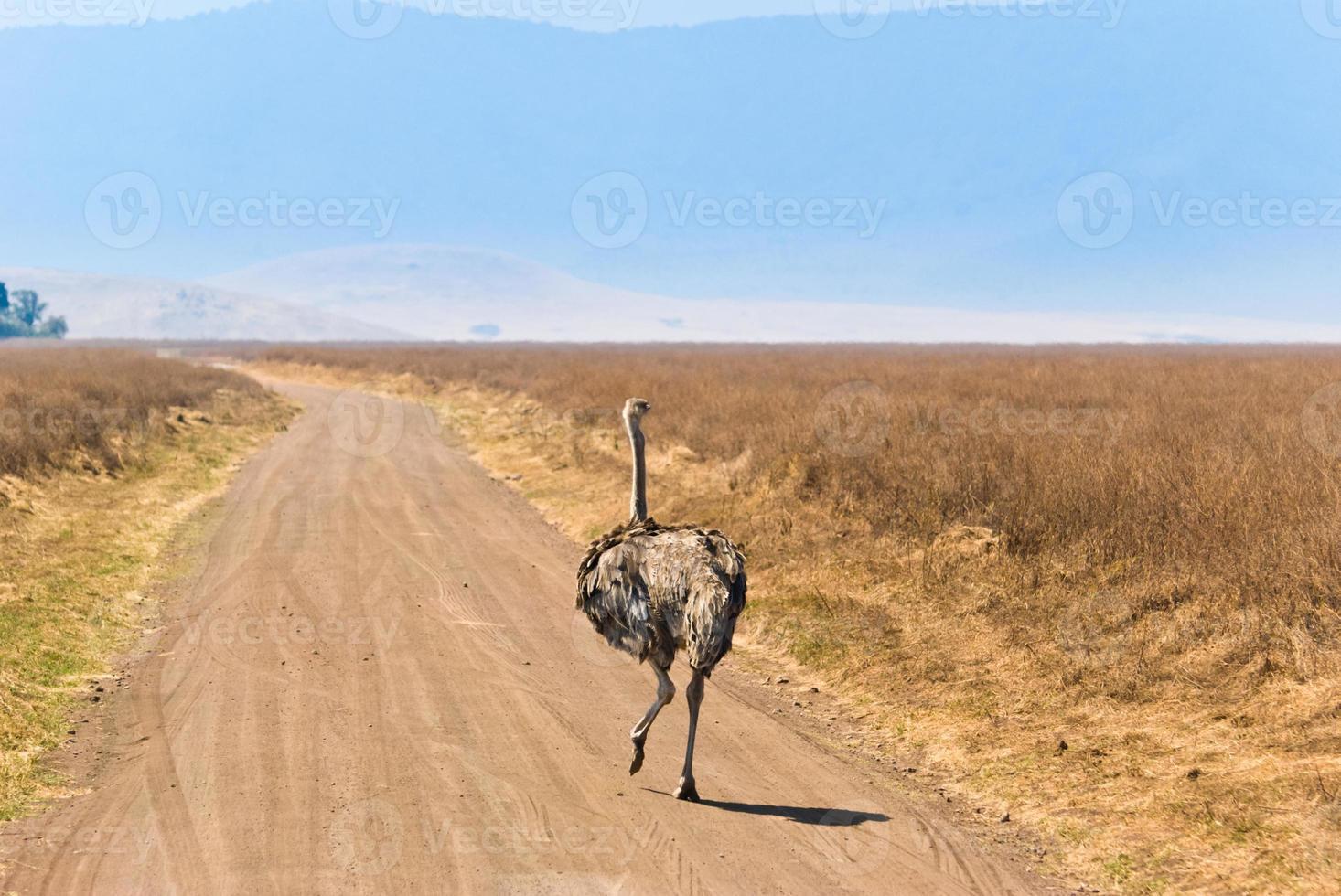 avestruz na estrada foto