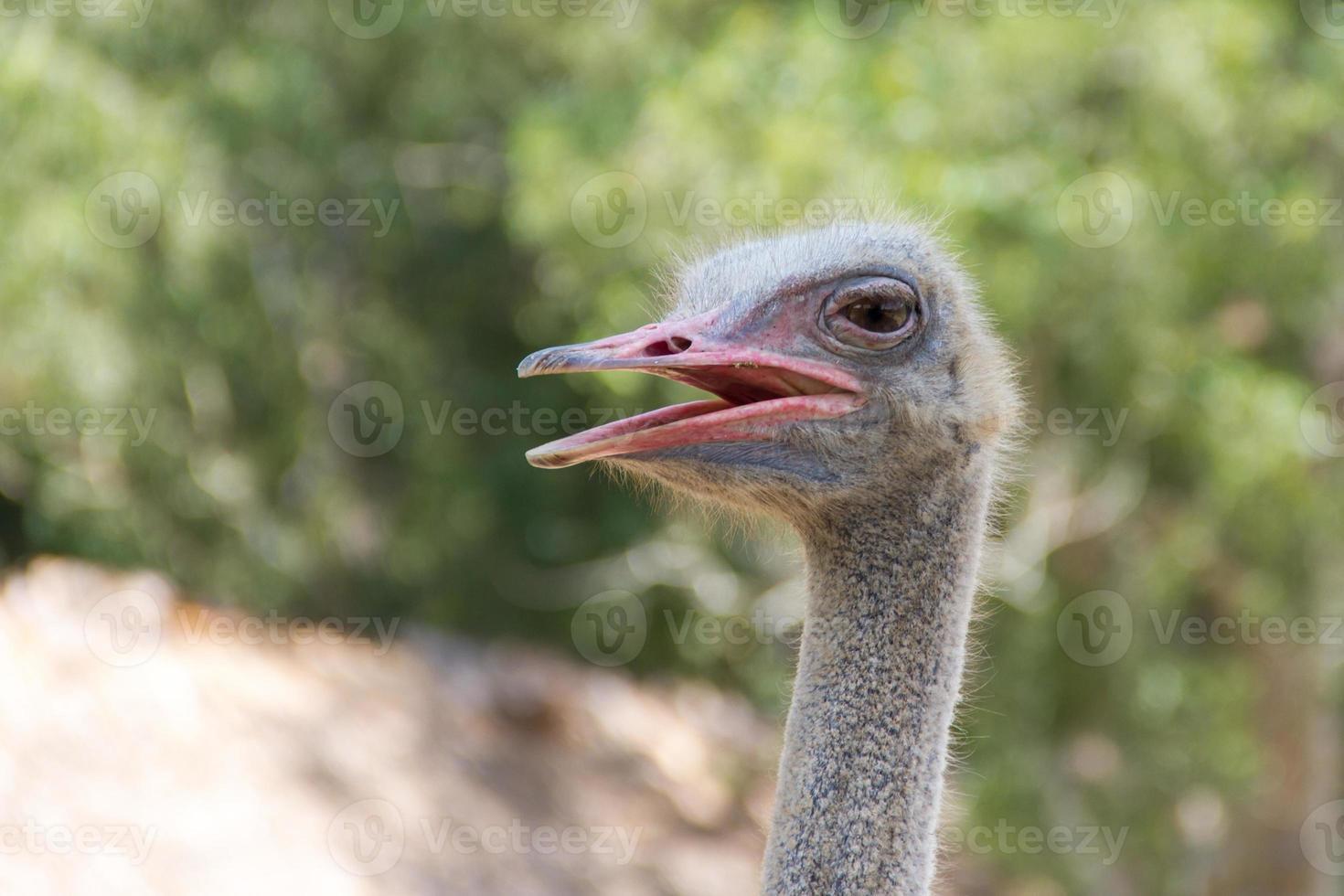 cabeça de avestruz no zoológico foto
