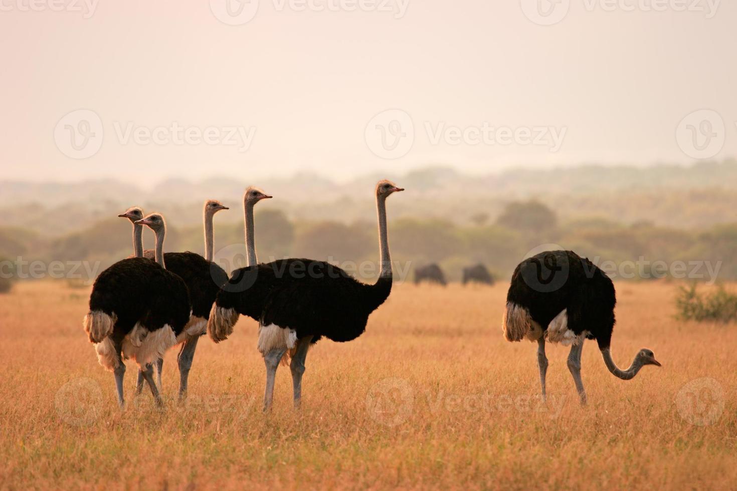 avestruzes em um campo por si mesmos foto