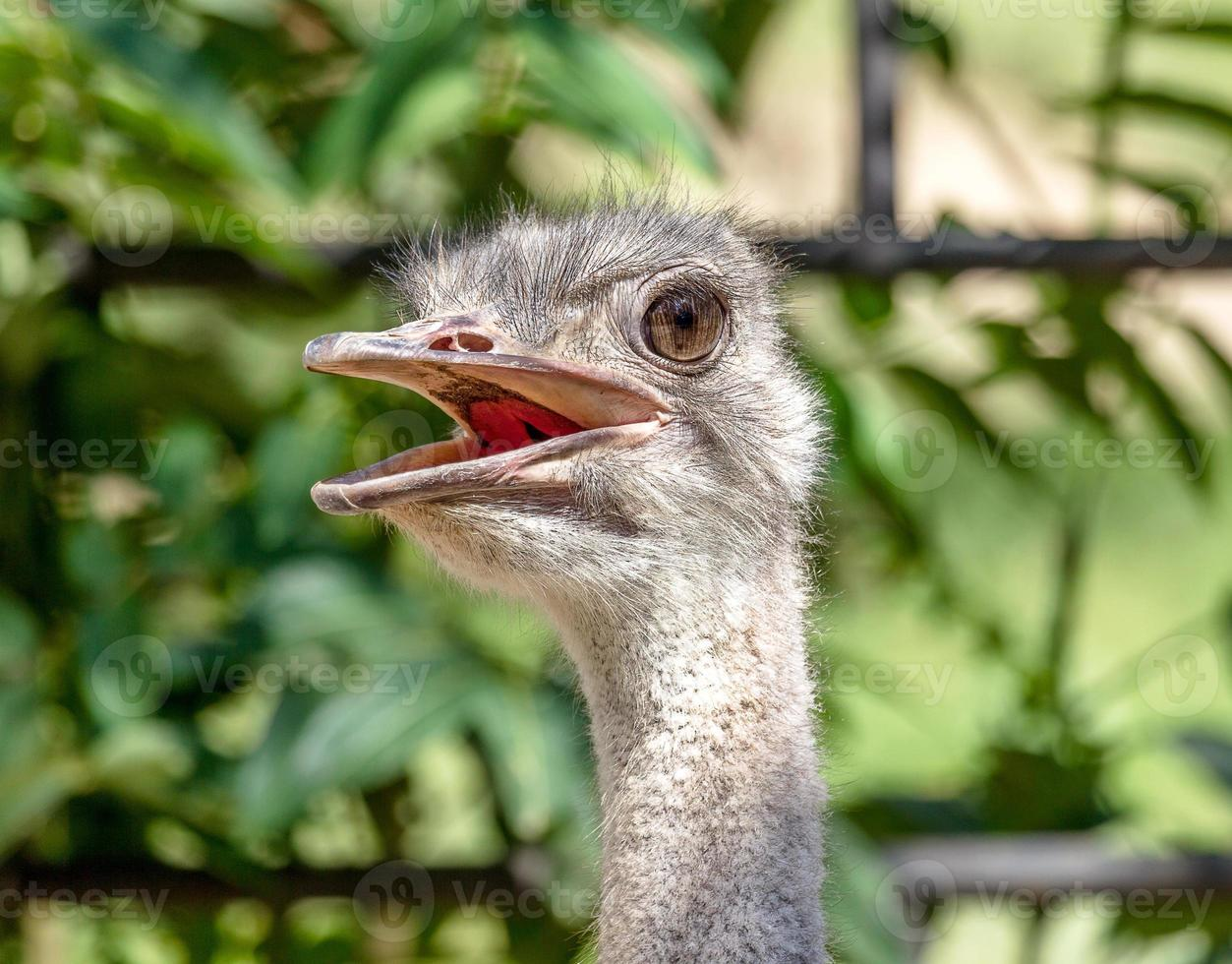 cabeça de avestruz close-up. foto