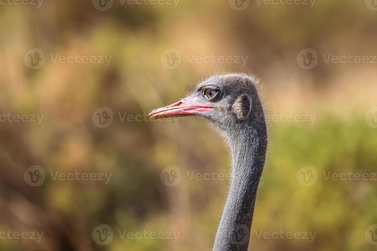 close-up de um avestruz comum (struthio camelus) com savana foto