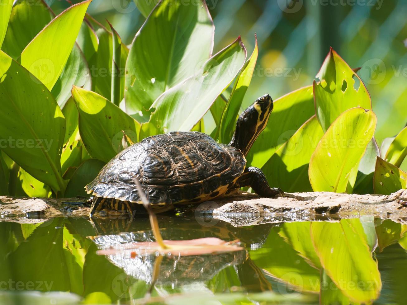 tartaruga da lagoa foto