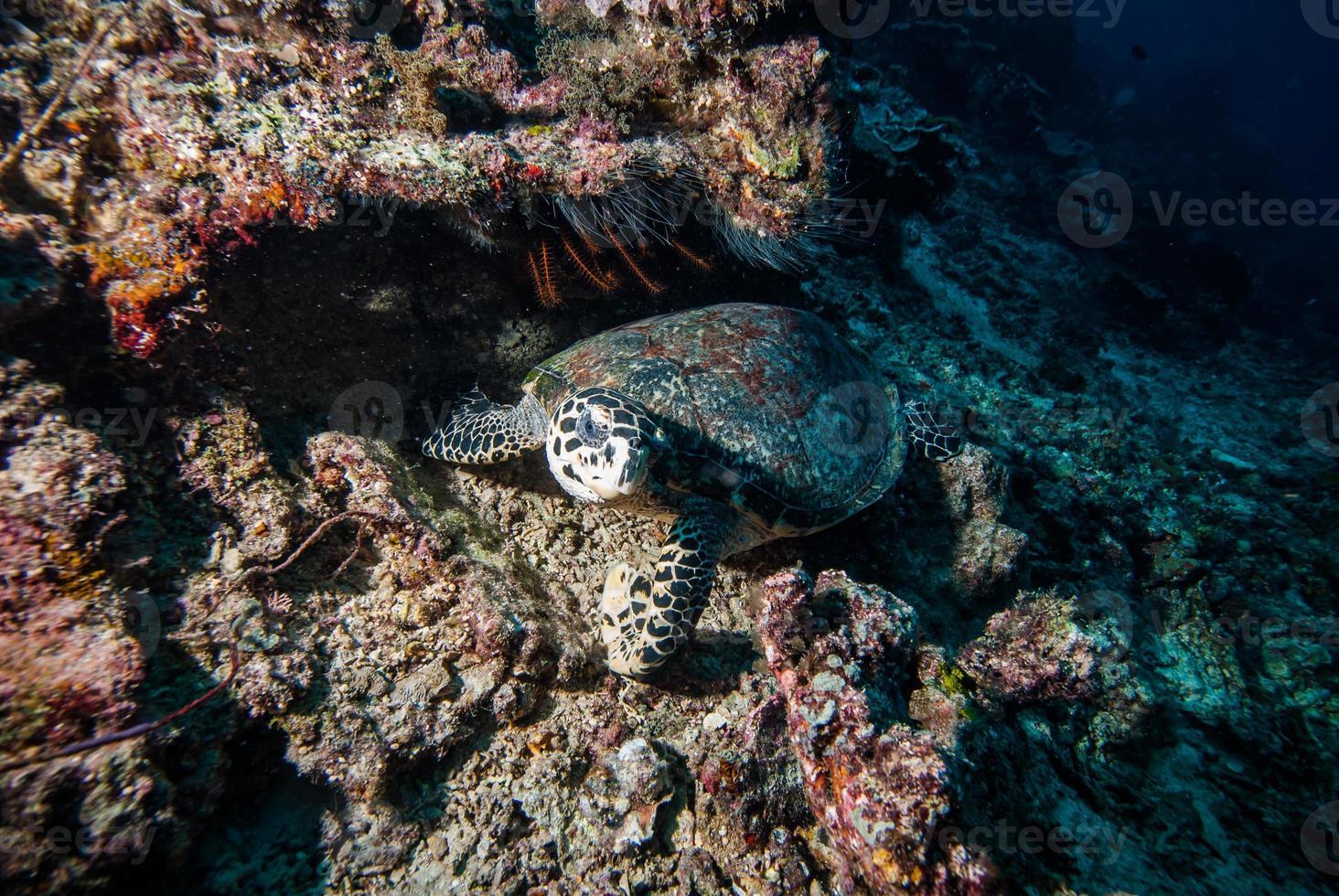 tartaruga verde nadando em foto subaquática de derawan, kalimantan, indonésia