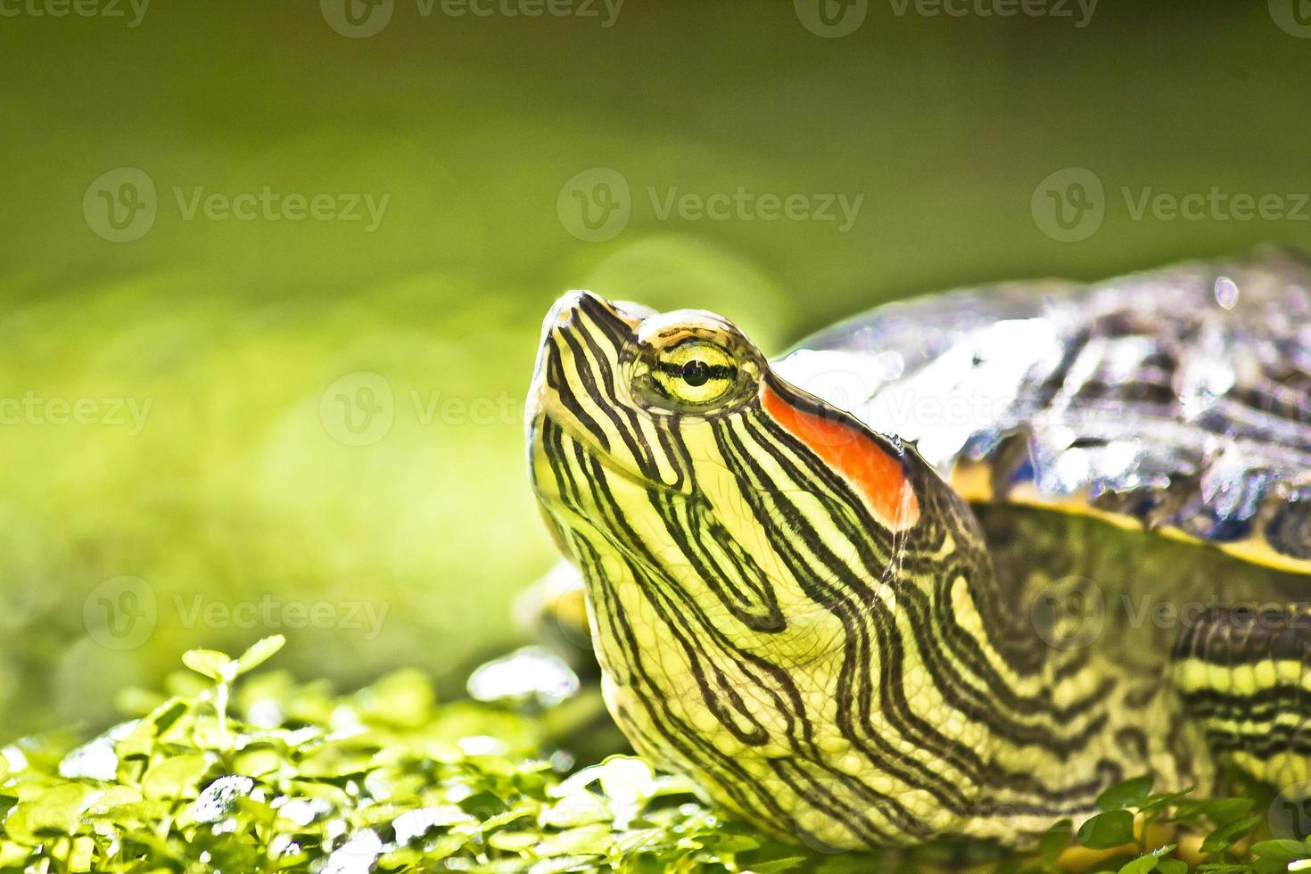 retrato de cabeça de tartaruga em natue foto
