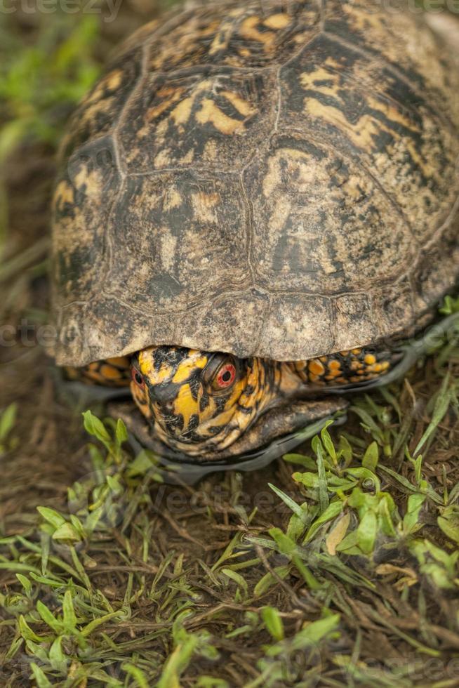 tartaruga de caixa de Alabama 2 - terrapene carolina foto