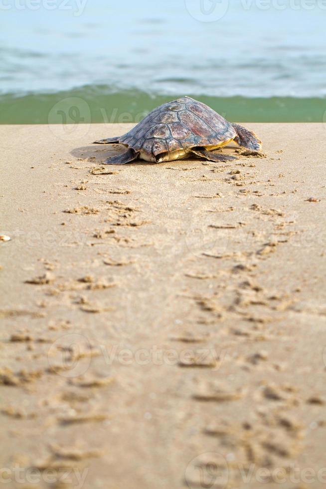 tartaruga marinha (c. caretta) foto