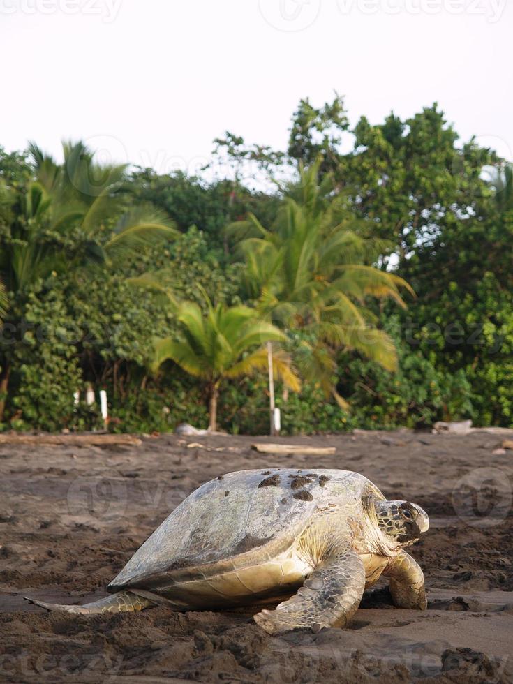 tartaruga marinha na praia tortuguero national park, costa rica foto