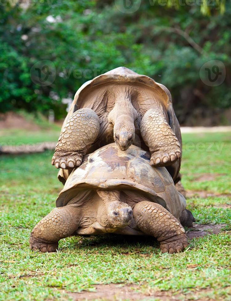 duas grandes tartarugas seychelles se simpatizando. Maurícia foto