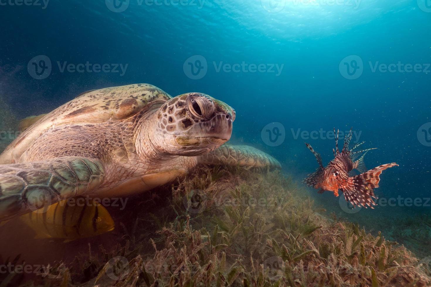 tartaruga verde e peixe-leão amigo no mar vermelho. foto