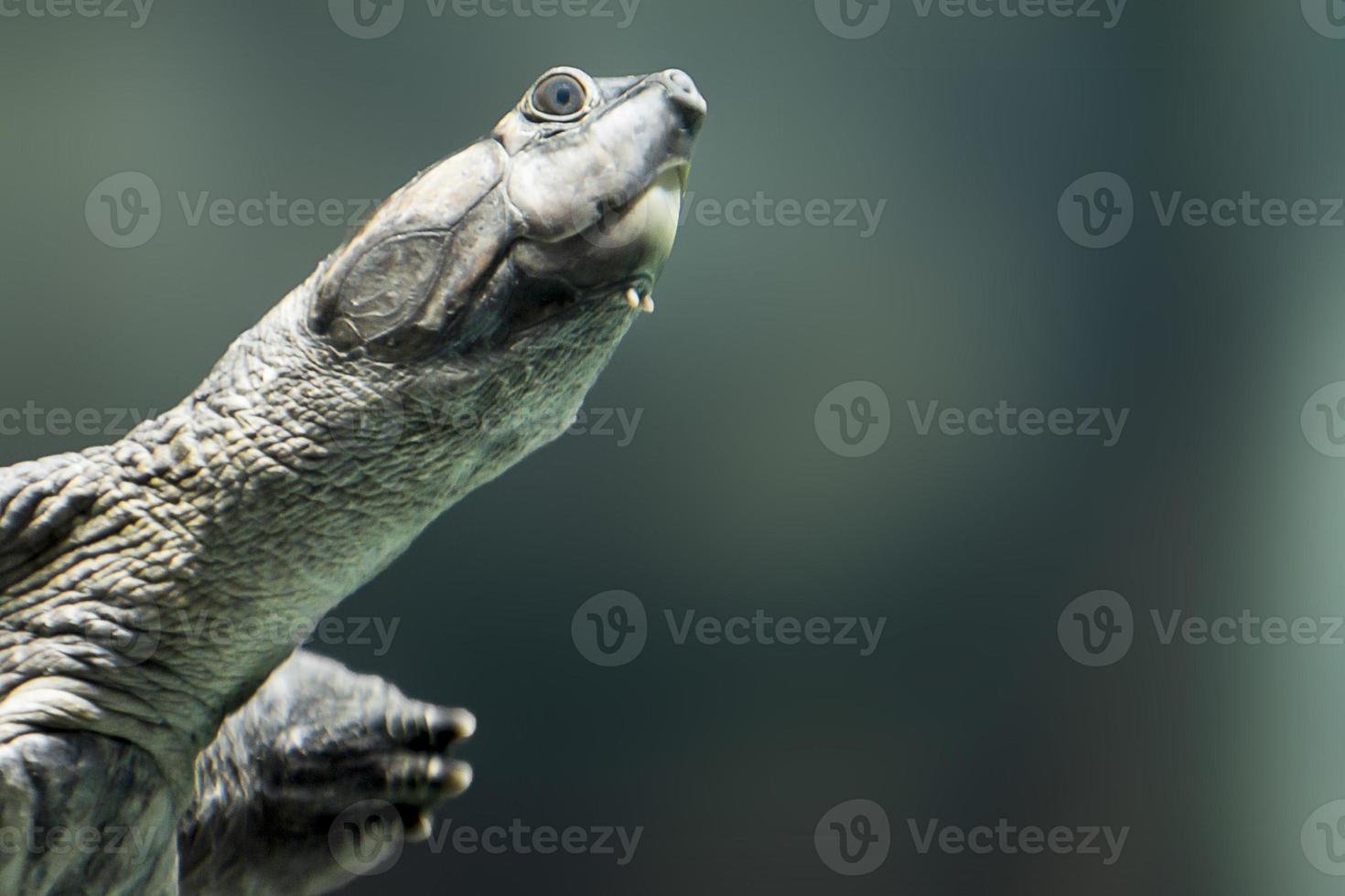 tartaruga gigante do rio foto