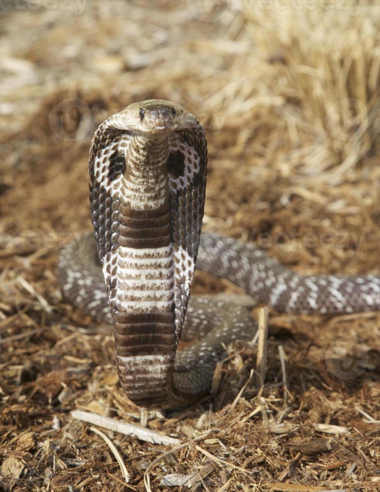 cobra indiana foto
