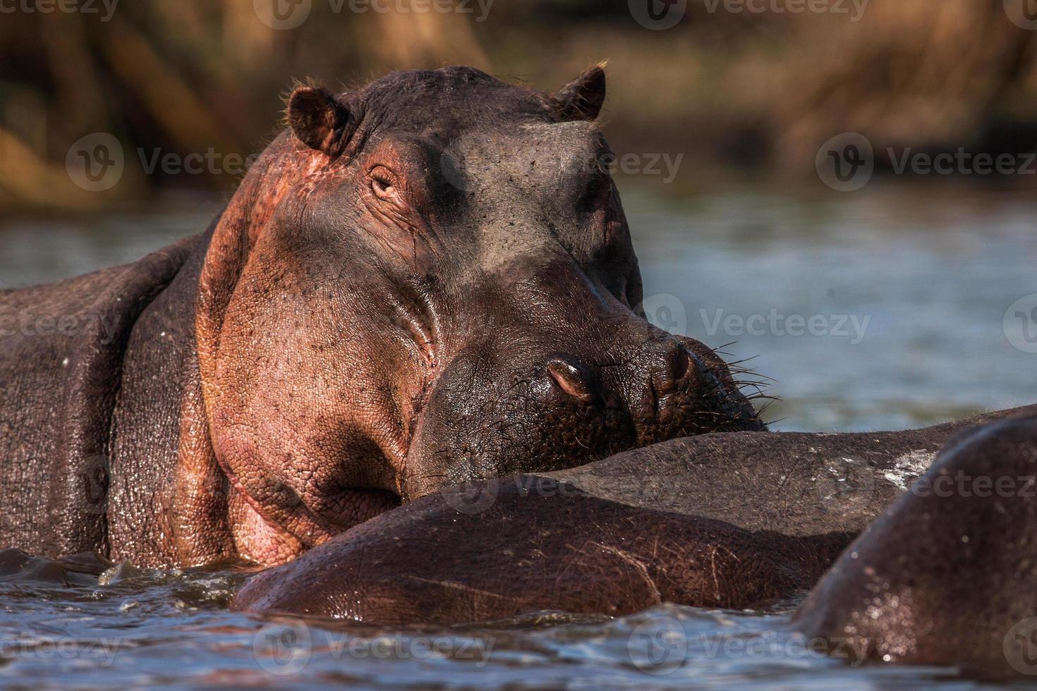 hipopótamos (hippopotamus amphibius) nadando na água, áfrica. fechar-se foto