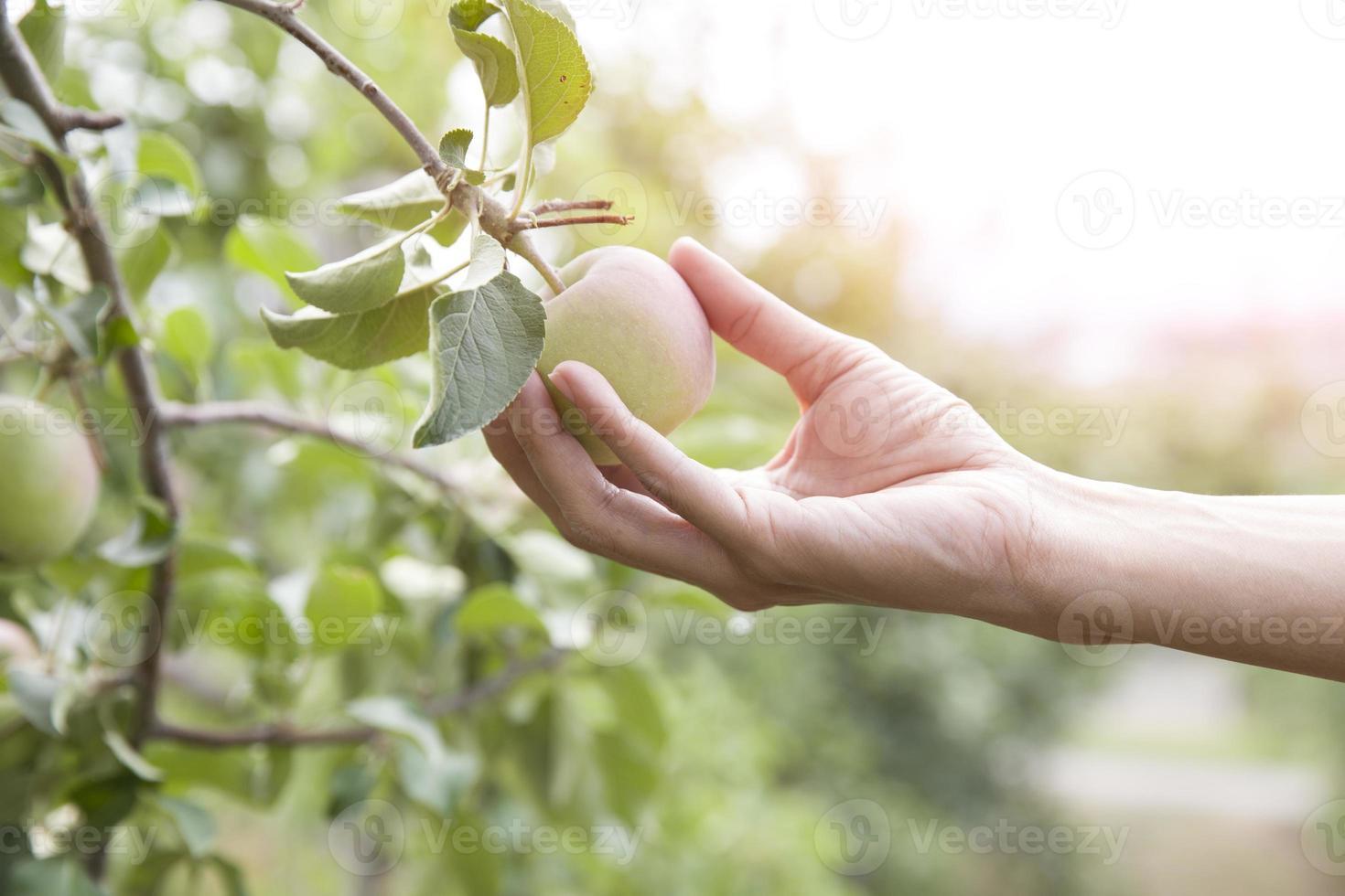 mão pegando uma maçã de uma árvore foto
