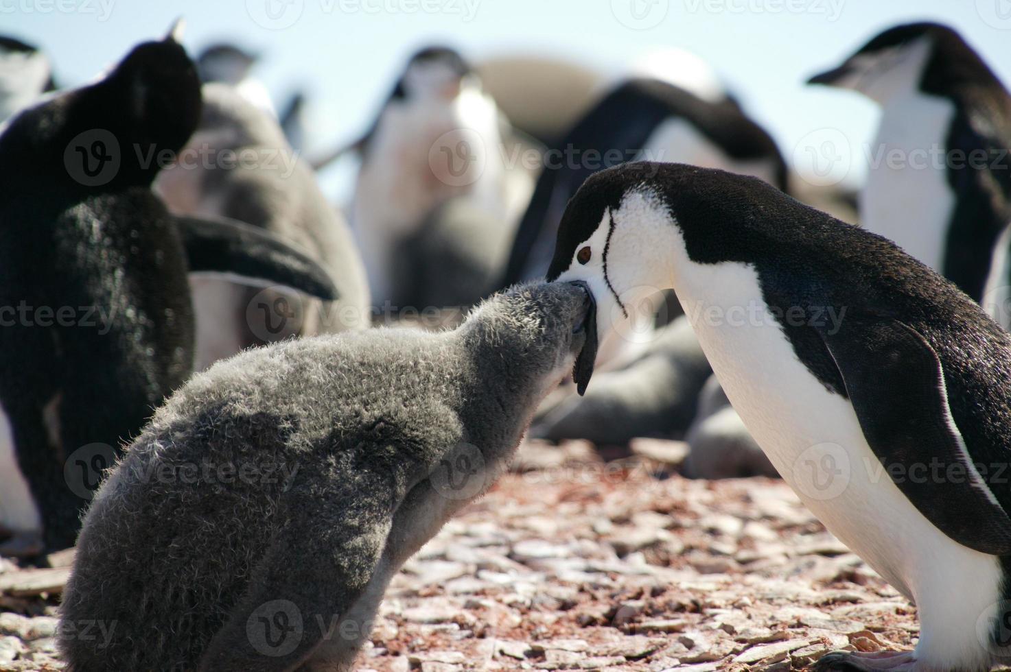 pinguins chinstrap, ilha pinguim, ilhas shetland do sul, anta foto