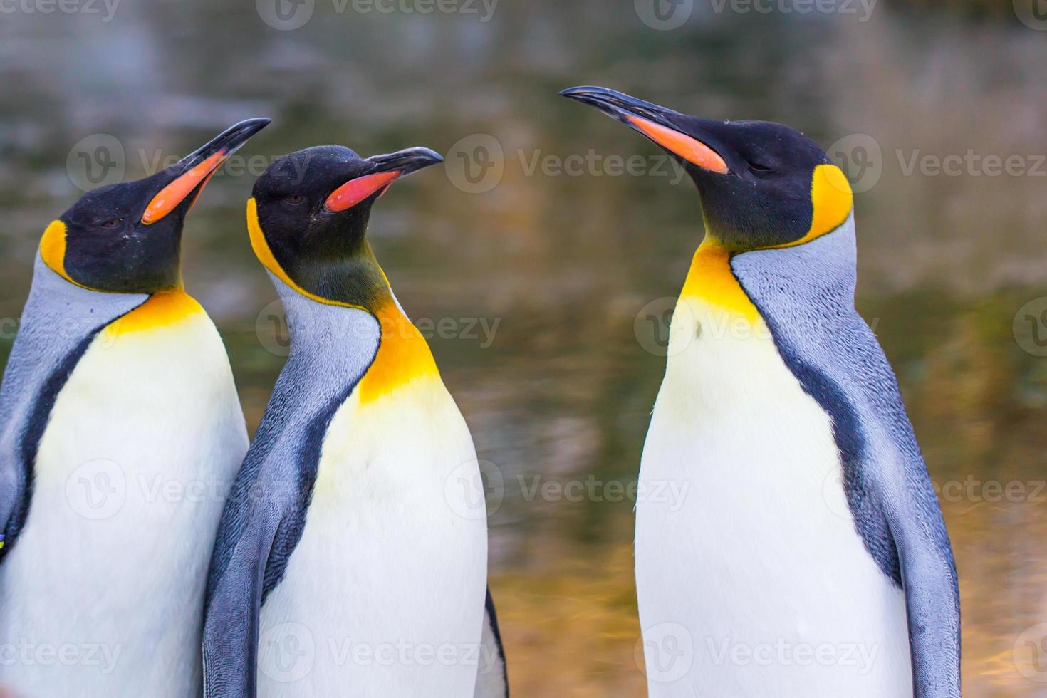 pinguins-imperador (aptenodytes forsteri) foto