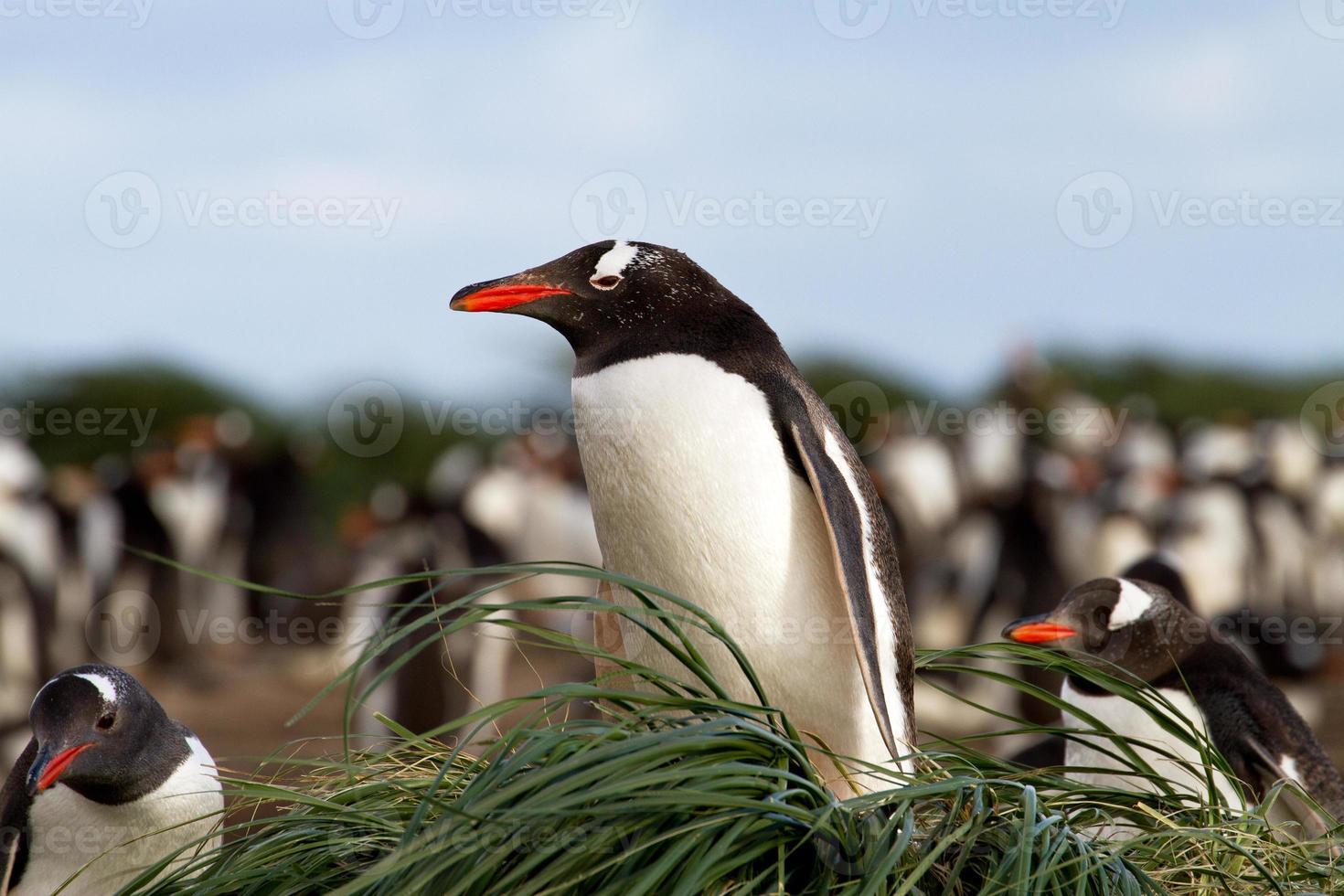 pinguim-gentoo está sentado em seu ninho foto