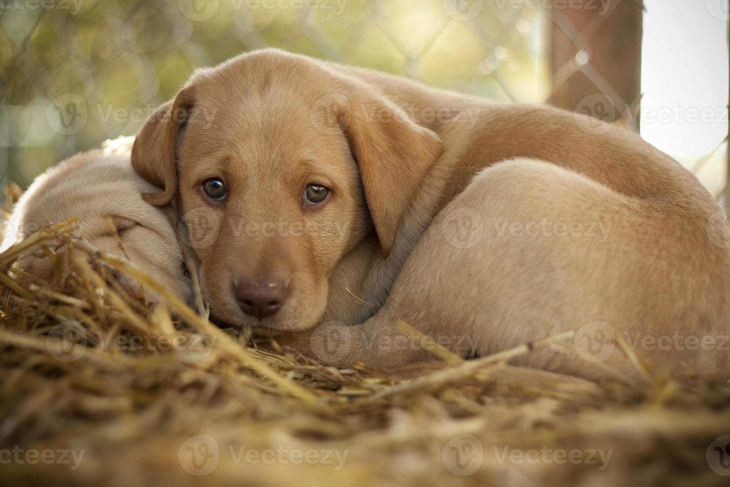 filhote de labrador retriever amarelo foto