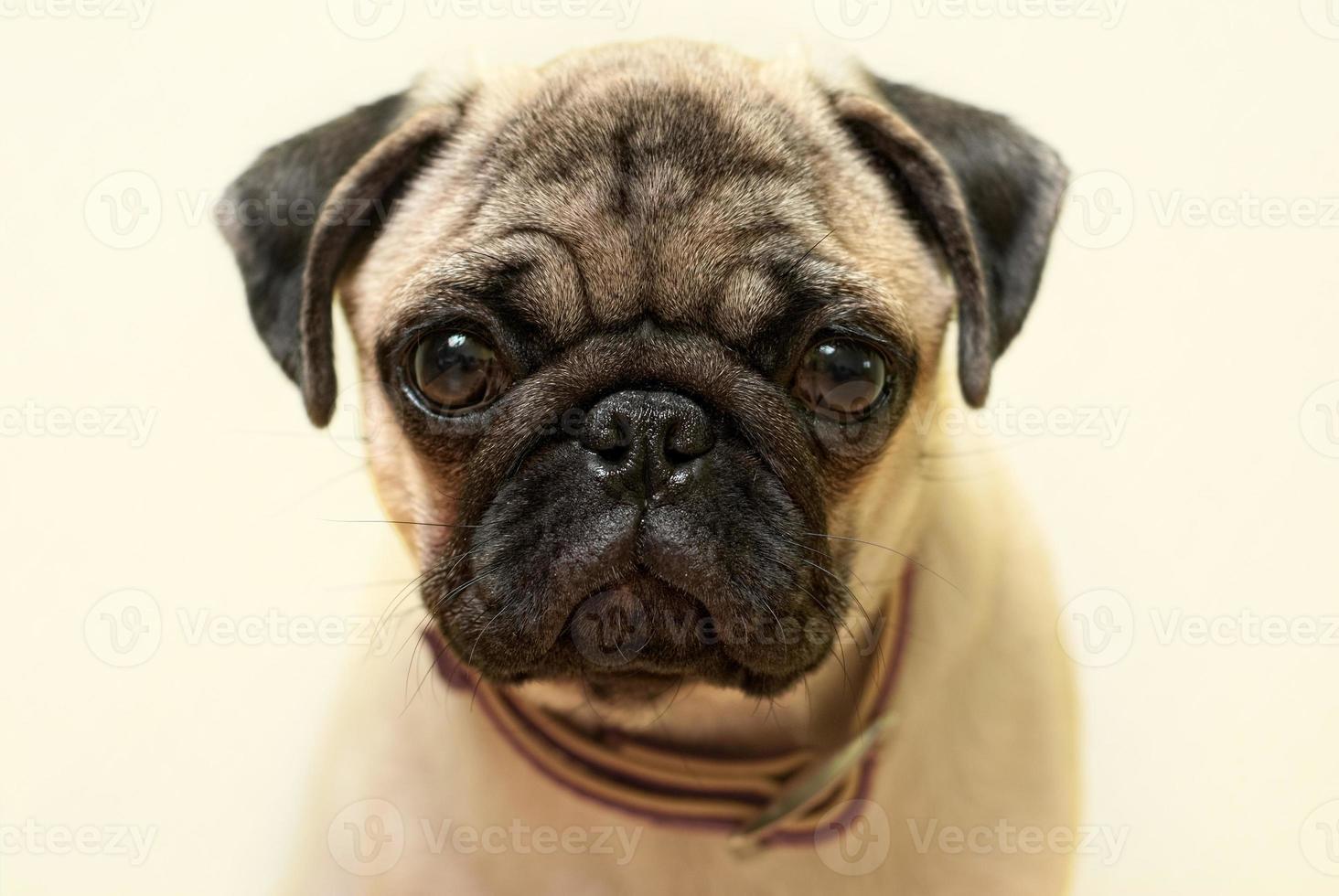 retrato de pug filhote de cachorro foto