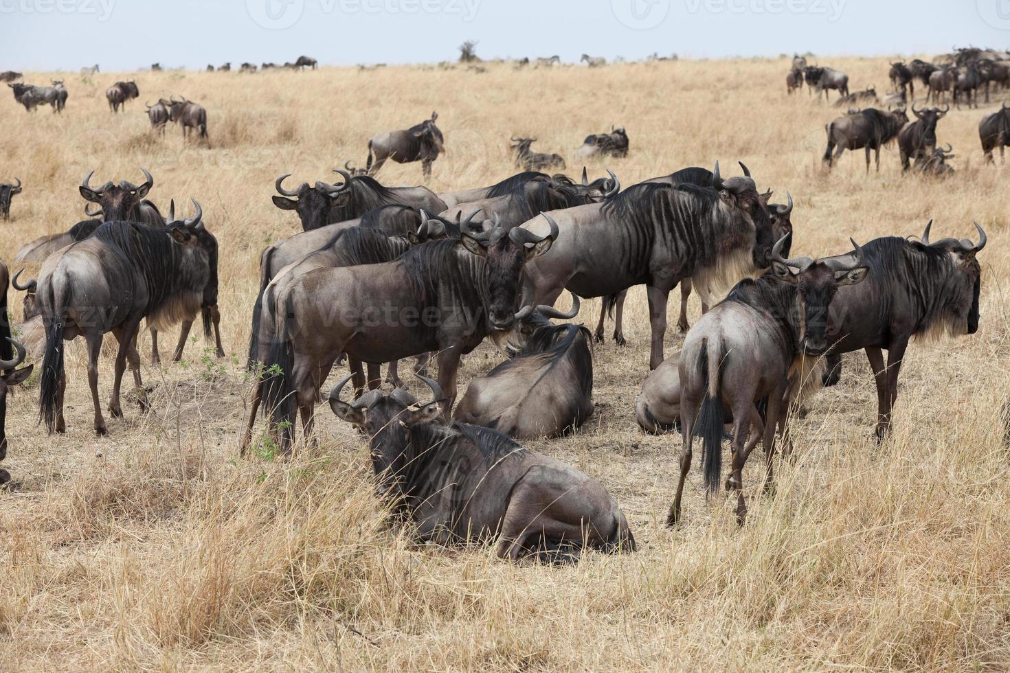gnus em masai mara, quênia foto
