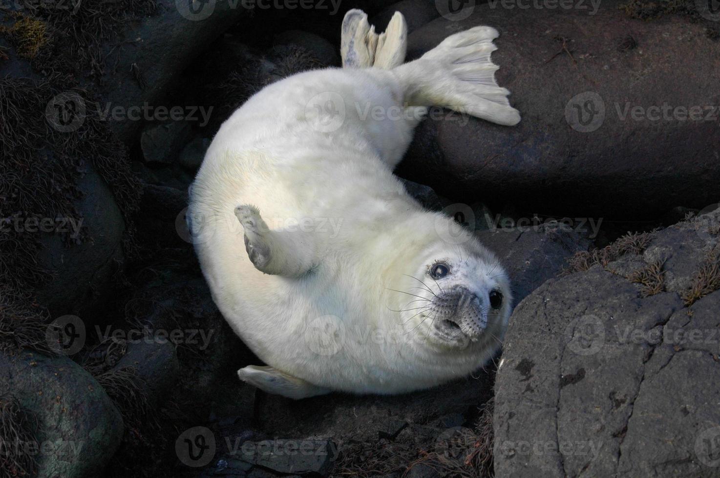 filhote de foca cinza na Escócia foto