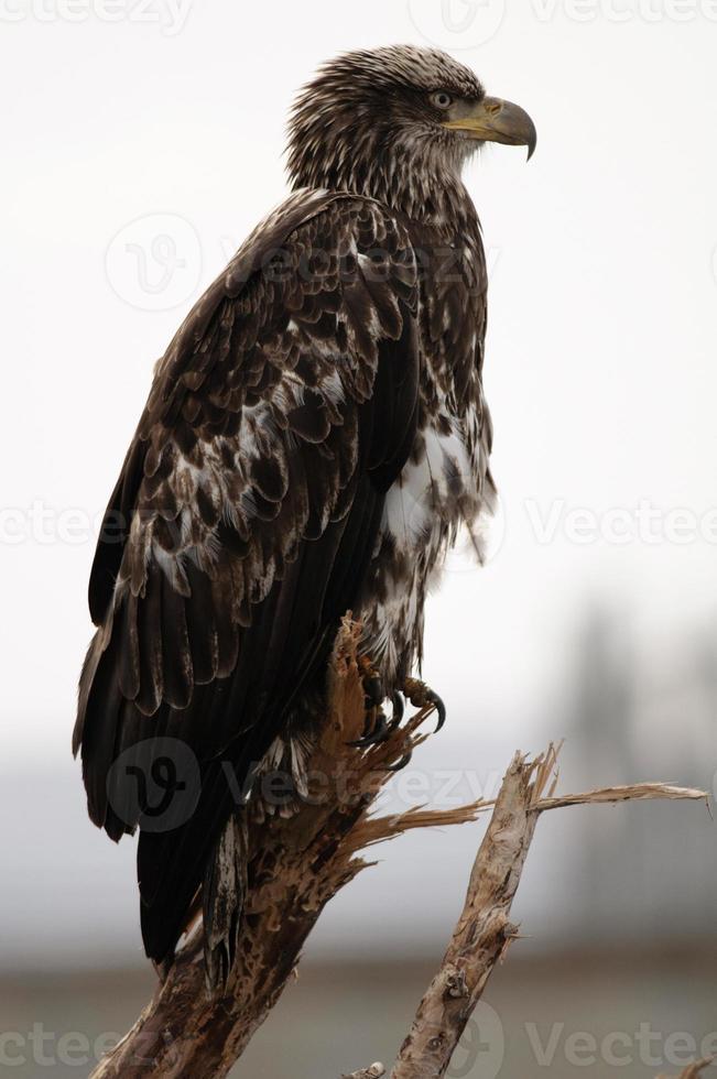 perfil de águia americana foto