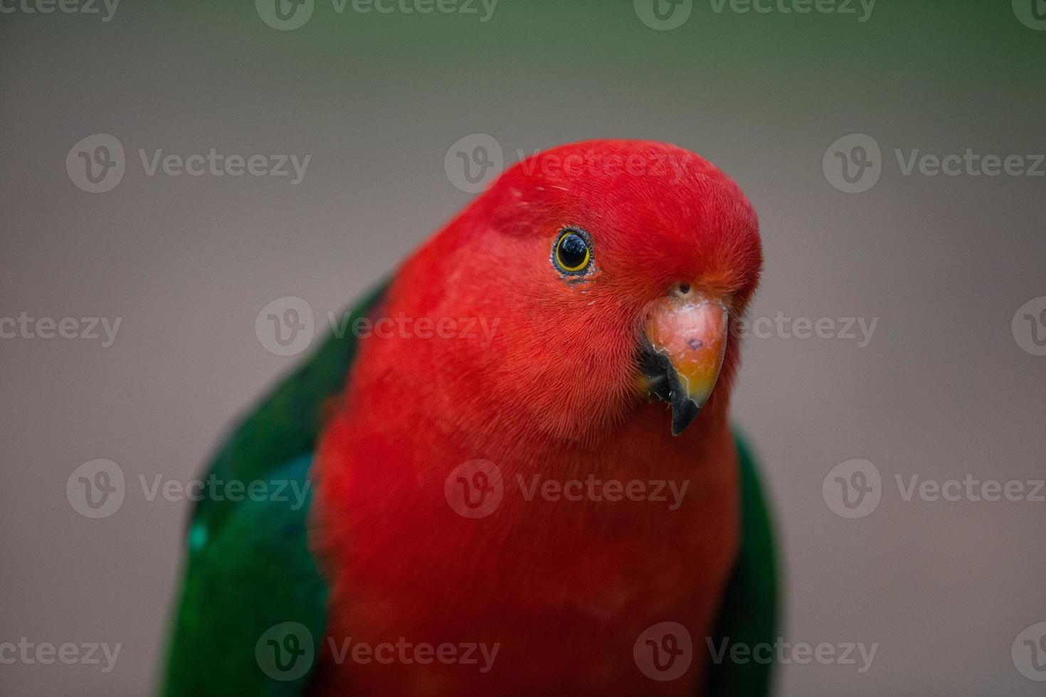 papagaio rei australiano foto