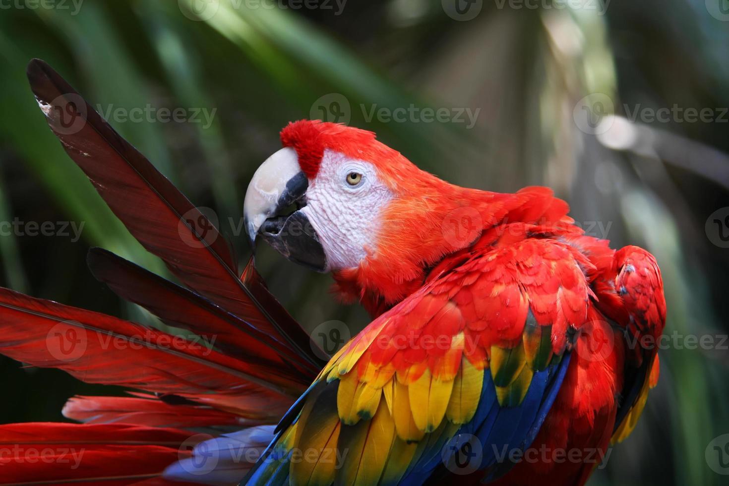 papagaio vermelho foto