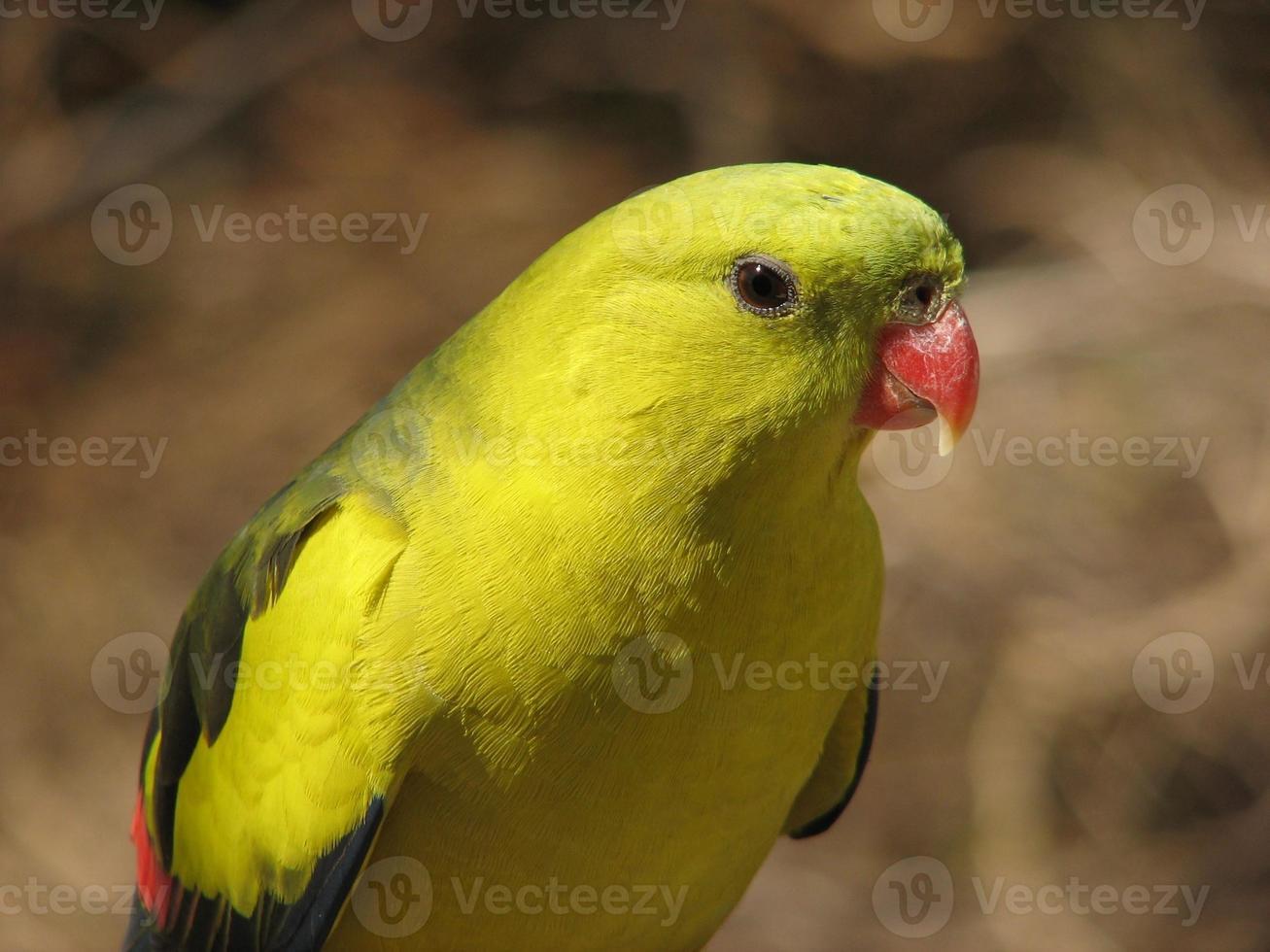 papagaio regente foto