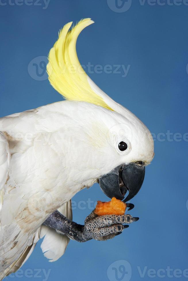 cacatua comendo em fundo azul foto