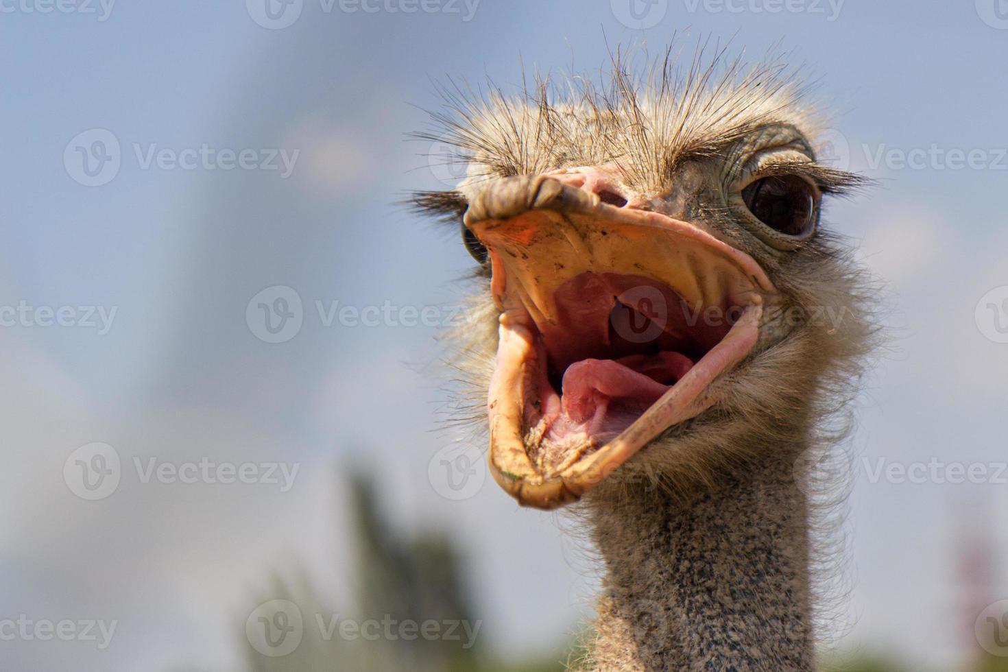 avestruz gritando foto