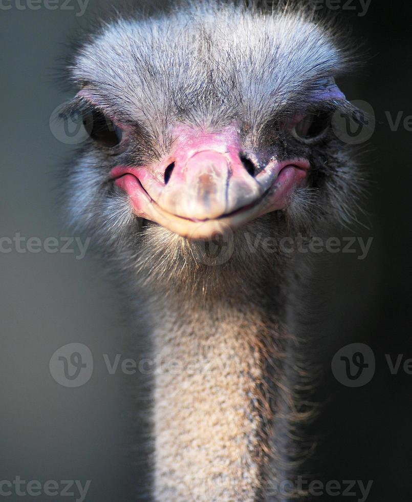 avestruz africano, retrato, foto