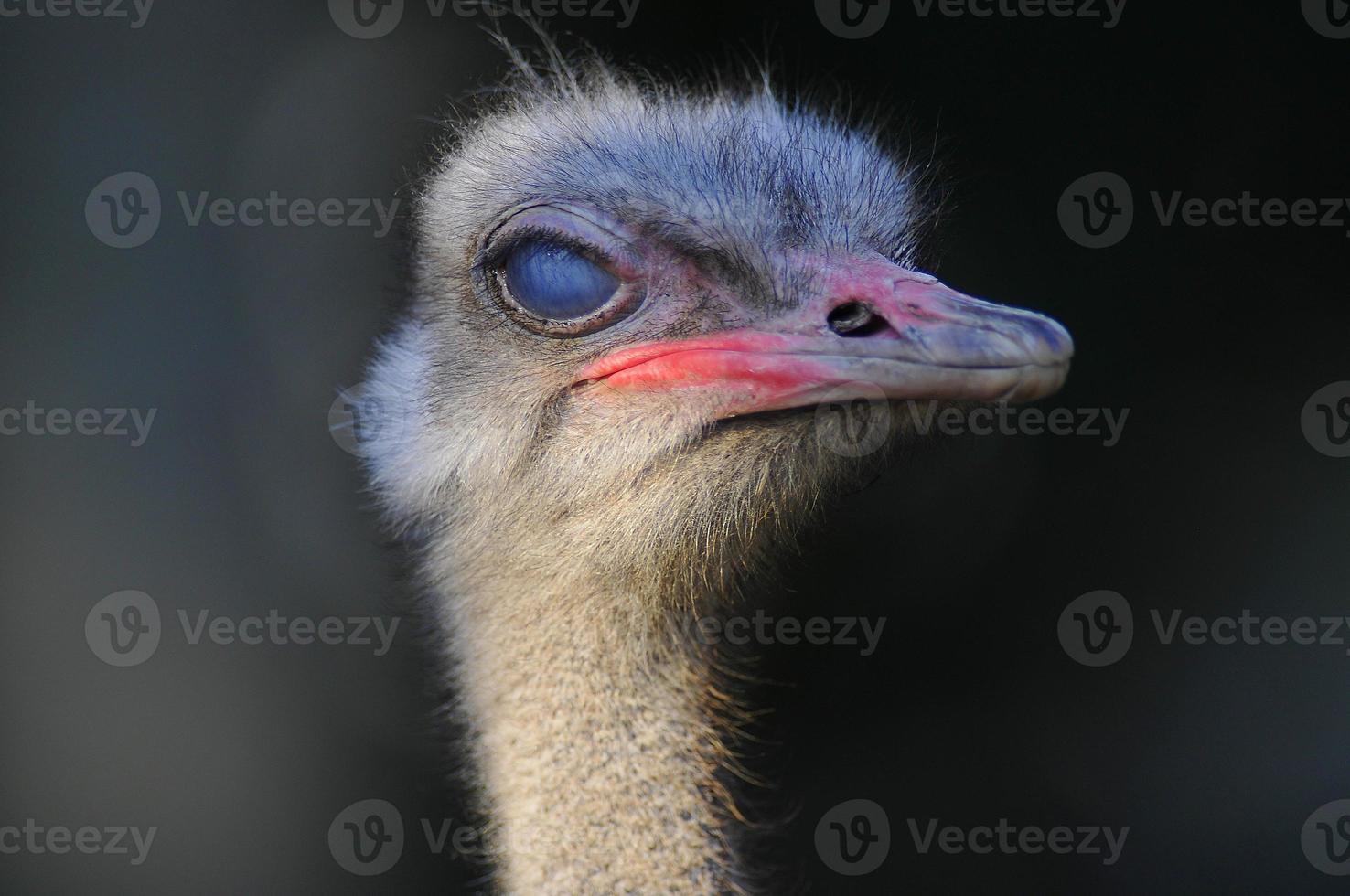 avestruz africano, retrato foto