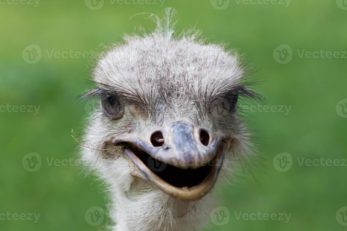 macro de avestruz retrato foto