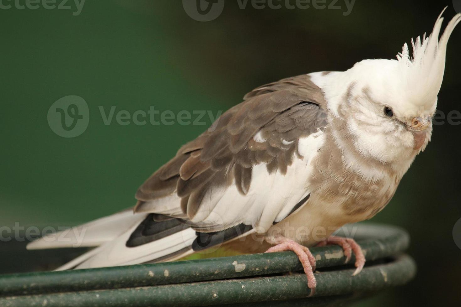 periquito branco (nymphicus hollandicus) foto