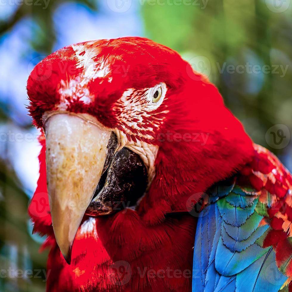 arara vermelha ou ara cacatuas papagaio closeup foto