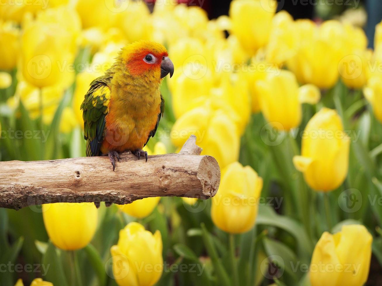 pássaro conure sol no jardim foto