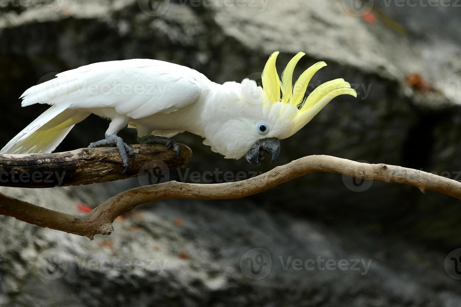 pássaro papagaio cacatua branca com crista amarela na madeira foto