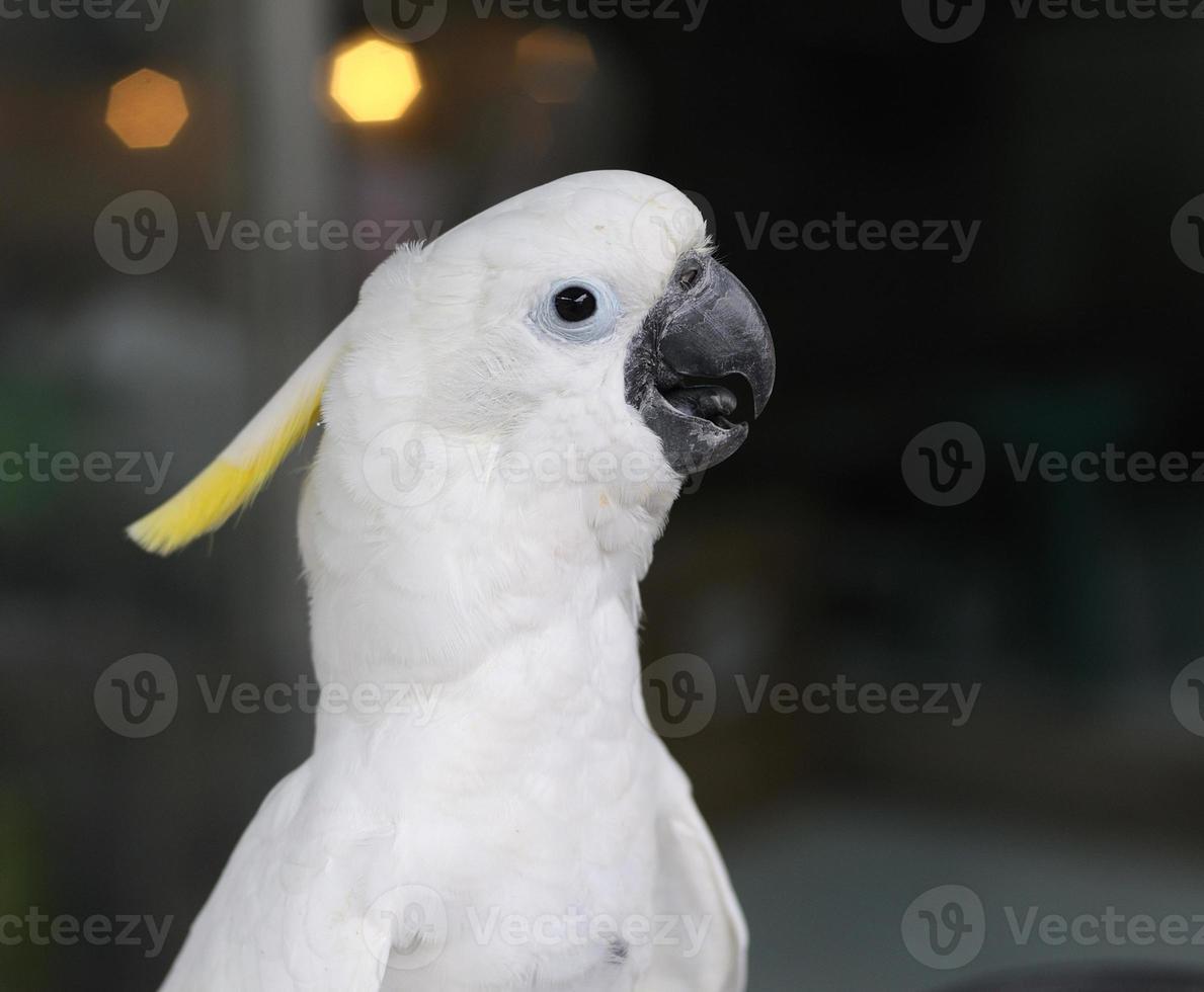 close-up cacatua-de-crista-amarela foto