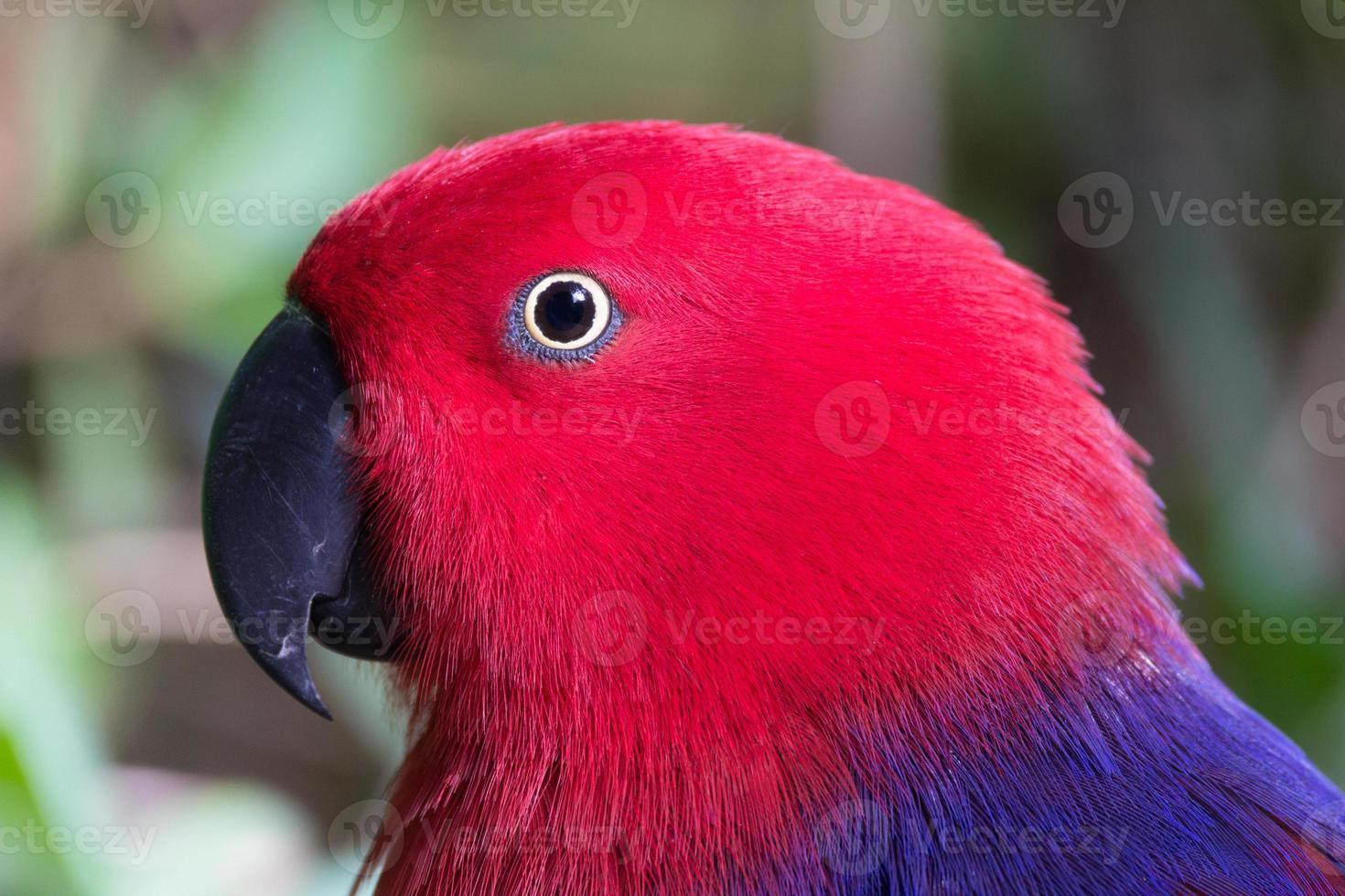 fêmea de papagaio eclectus foto