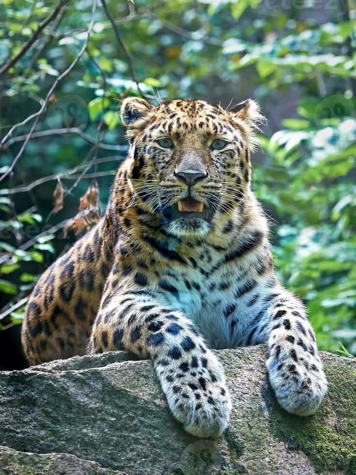 leopardo de amur (panthera pardus orientalis) foto