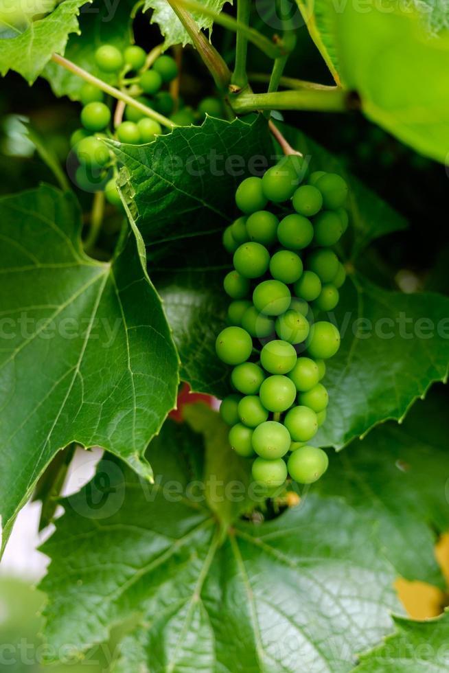 ramo de uvas verdes na videira em vinhedo. foto