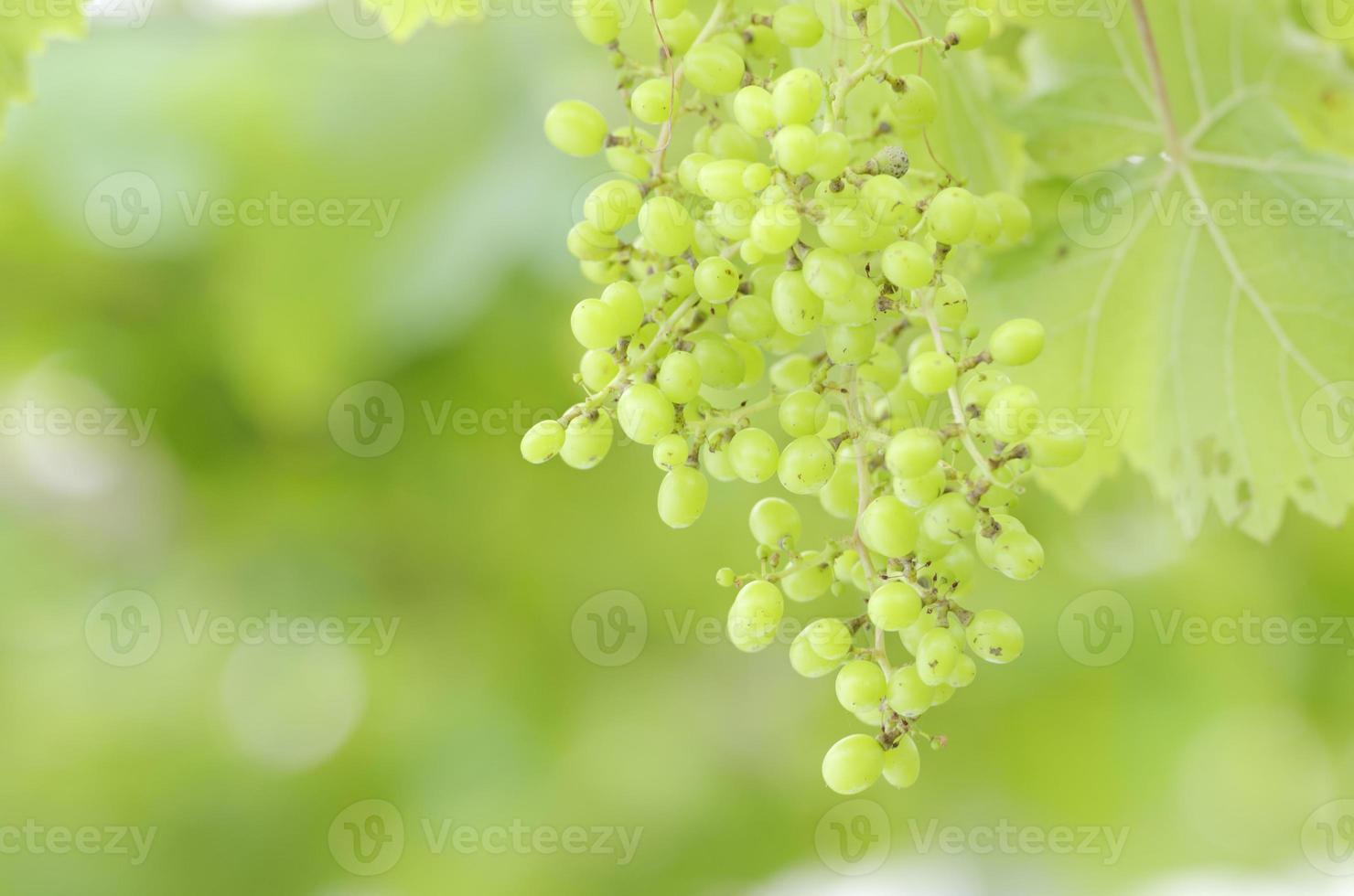 uva verde foto